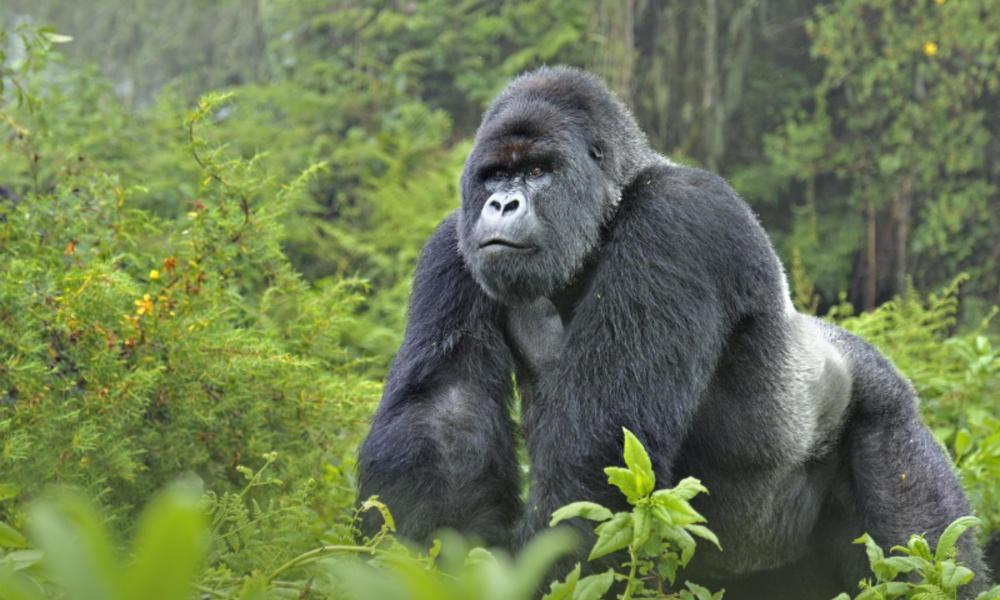 HƯƠNG VỊ CHÂU PHI (UGANDA – RWANDA – CÔNG-GÔ – BURUNDI)